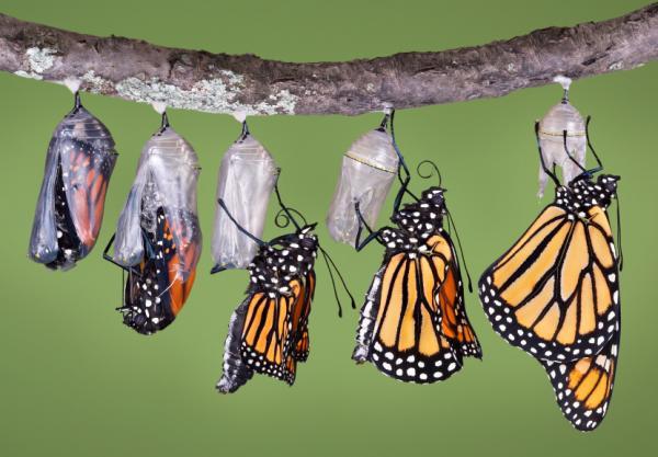 蝴蝶的蜕变